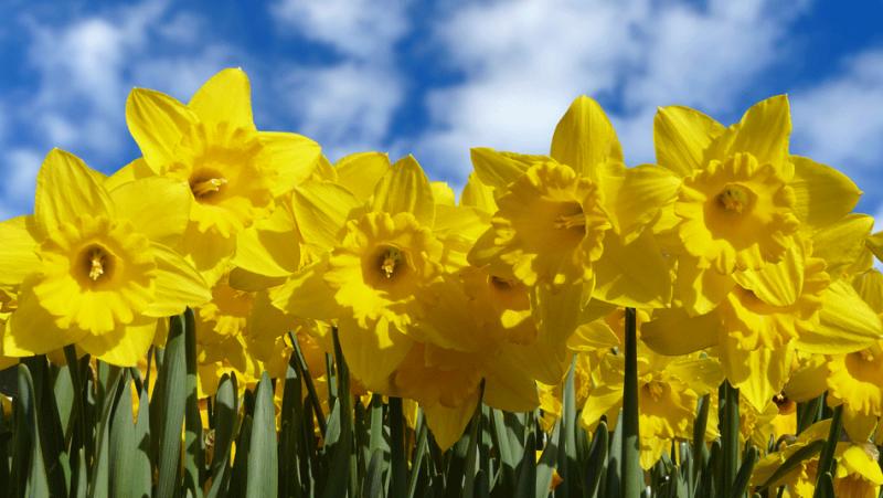 DaffodilsFI